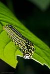 Mimoides caterpillar feeding